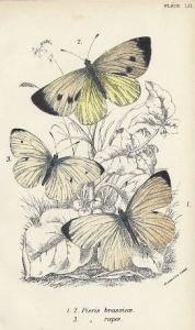 Koolwitjes_William Forsell Kirby_Large and Small Cabbage White butterflies_1896