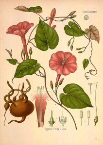 Ipomoea purga Hayne_F.E. Köhler_Medizinal Pflanzen_1890
