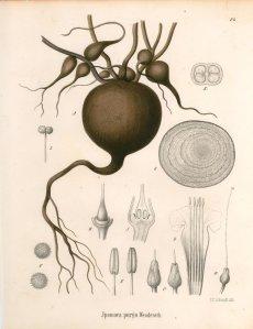 Ipomoea purga Wenderoth_C.F. Schmidt_Köhler's Medizinal-Pflanzen in naturgetreuen Abbildungen mit kurz erläuterndem Texte_1890
