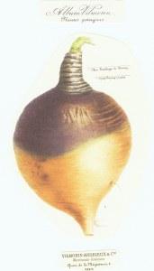 Brassica Napus_Koolraap_van Skirving_Vilmorin Andrieux_Les Plantes Potagères_1862