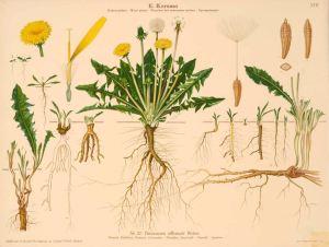 Taraxacum officinale Webb_E. Korsmo_Unkrauttaflen_Weed plates_Planches des mauvaises herbes_Ugressplansjer_1934-1938