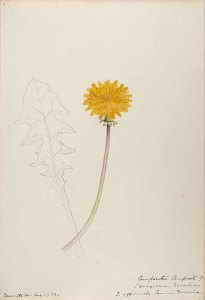 Taraxacum officinale Webb_Helen Sharp_Water-color sketches of American plants, especially New England_1888-1910