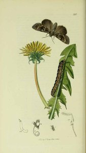 Taraxacum officinale Webb_met rups en vlinder_J. Curtis_British entomology_1823-1840