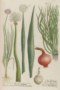 Allium_Cepa sectilis juncifolia_J.W. Weinmann_Phytanthoza iconographia_1739