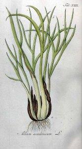 Sjalot_Allium Ascalonium L._J. Zorn_D.L. Oskamp Vervolg op de Afbeeldingen der artseny-gewassen met derzelver Nederduitsche en Latynsche beschryvingen_ 1813