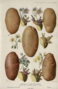 Solanum tuberosum_A. Millot_Revue horticole_1852-1974