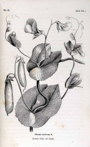 Pisum sativum L._B.A. Auerswald, E.A. Roßmäßler_Botanische Unterhaltungen zum Verständniß der heimathlichen Flora_1858