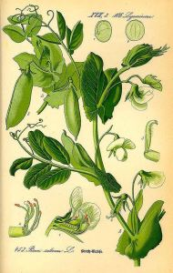 Pisum sativum L._O.W. Thomé_Flora von Deutschland Österreich und der Schweiz_1885