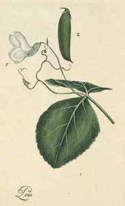 Pisum sativum L._P. Bulliard_Flora Parisiensis_1776-1781