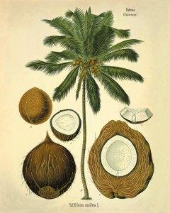 Cocos nucifera L._F.E. Köhler_Medizinal Pflanzen_1890