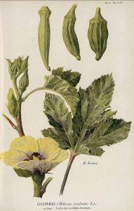 Hibiscus esculentus L._A.L. Buisson_Revue horticole_1852-1974