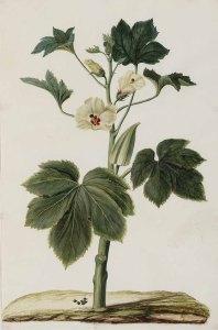 Hibiscus esculentus L._J. Moninckx_Moninckx atlas_1682-1709