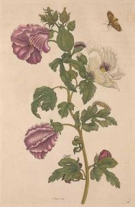 Hibiscus esculentus L._Maria Sibylla Merian_De metamorphosibus insectorum Surinamensium, of te verandering der Surinaamsche insecten_1714