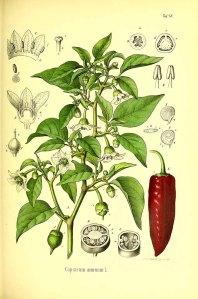 Capsicum annuum L._O.C. Berg_C.F. Schmidt_Atlas der officinellen Pflanzen_1891-1893