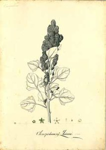 Chenopodium quinoa_Francisco Javier Matis Mahecha_Mutis_Drawings of the Royal Botanical Expedition to the new Kingdom of Granada_1783-1816