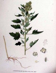 Chenopodium quinoa_J. Kops et al._Flora Batava_1920