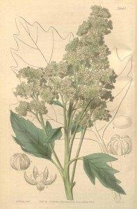 Chenopodium quinoa_W.H. Fitch_Curtis's Botanical Magazine_1839