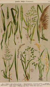 Grassenfamilie_K. Hoffmann_E. Dennert_Botanischer Bilderatlas nach dem natürlichem Pflanzensystem_1911_Gramineae of Poaceae