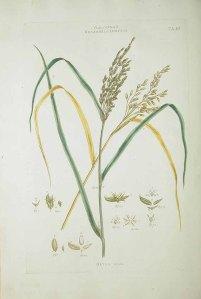 Rijst_J. Miller_J.S., M.B. Borckhausen_Illustratio systematis sexualis Linnaei_1770-1777_Oryza sativa L.
